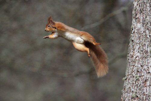 Red squirrel by Neil McIntyre